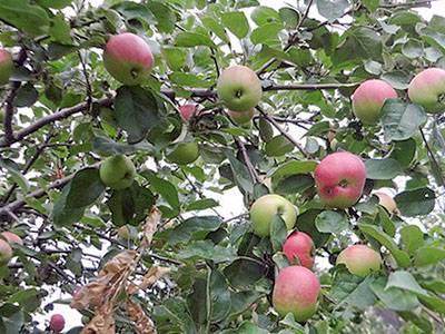 Яблоня июльское черненко - ogorodguru