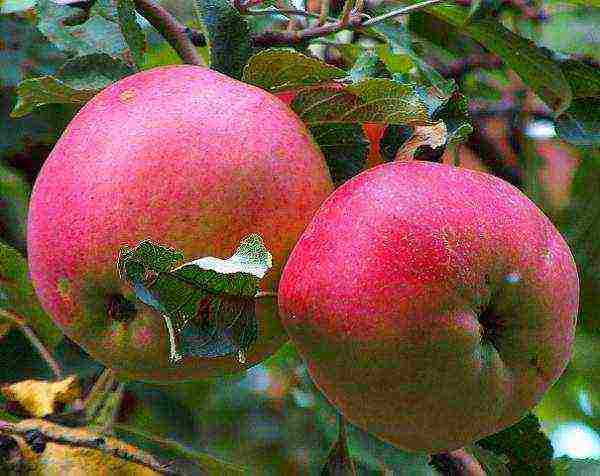Описание сорта яблони краса свердловска: фото яблок, важные характеристики, урожайность с дерева