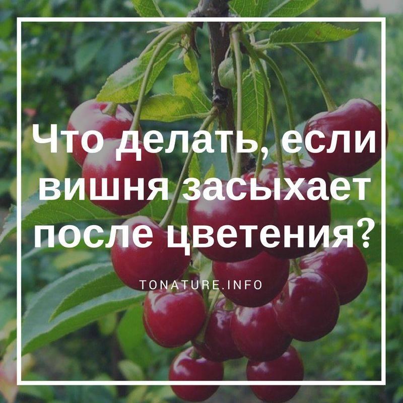 Почему сохнут ветки у яблони и как с этим бороться на supersadovnik.ru