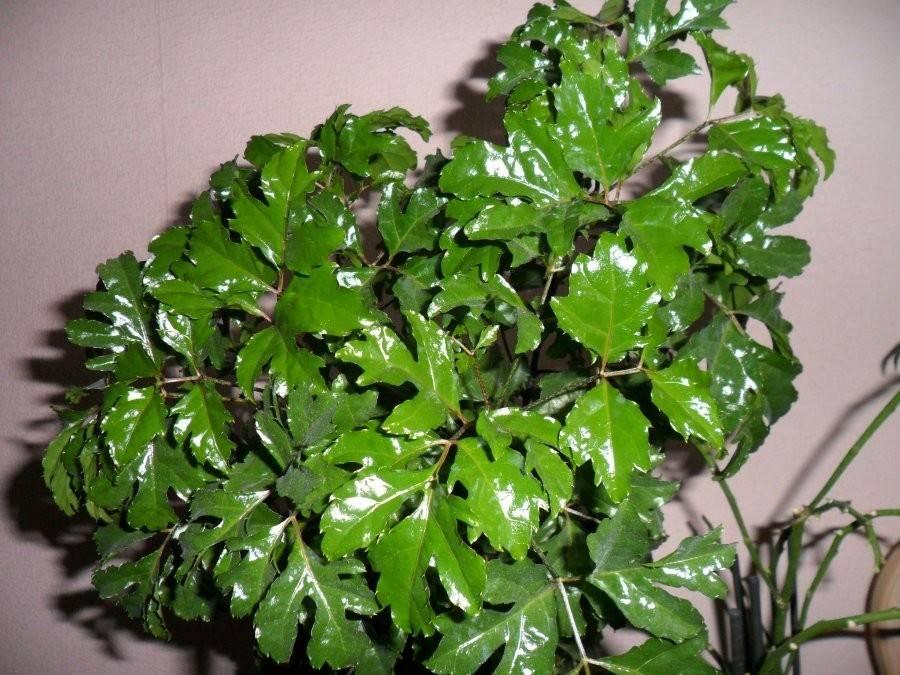 Полисциас, узнайте больше о правилах выращивания этого деревца в домашних условиях