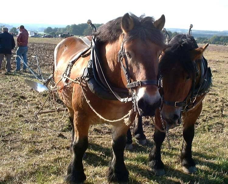 Арденская порода лошадей: характеристика, плюсы и минусы, уход и кормление