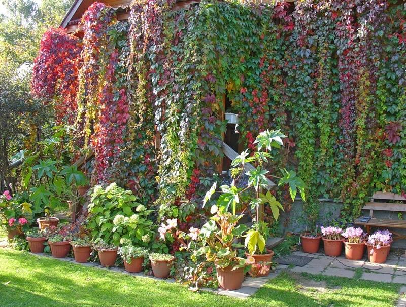Девичий виноград: посадка и уход, фото в ландшафтном дизайне