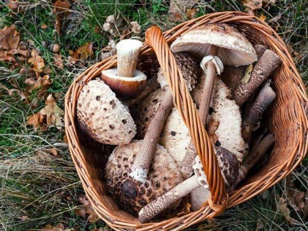 Гриб курятник (курник), зонтик краснеющий или лохматый (chlorophyllum rhacodes): фото, описание и как готовить гриб