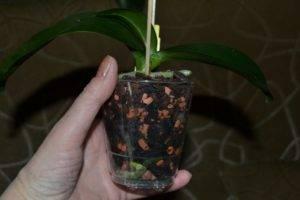 Цеофлора для орхидей — полезные свойства