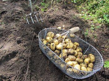 Посадка картофеля: способы, глубина высадки и расстояние между рядами