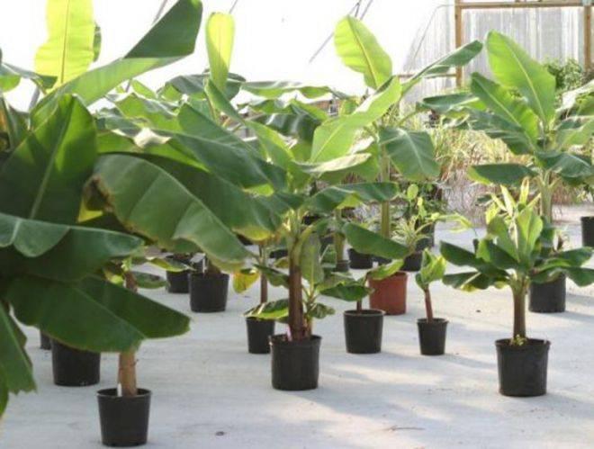 О секретах выращивания и ухода за бананом, читайте подробнее