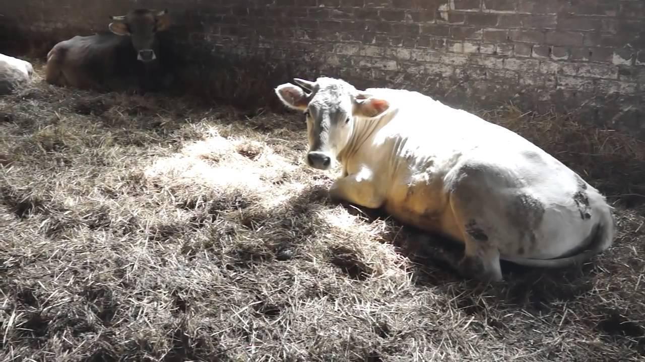 Характеристика костромской породы коров