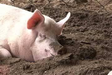 Свиноводство в домашних условиях: размножение и методы разведения свиней