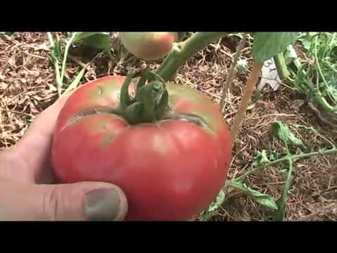 Сорт помидоров шапка мономаха: урожайность, фото и отзывы