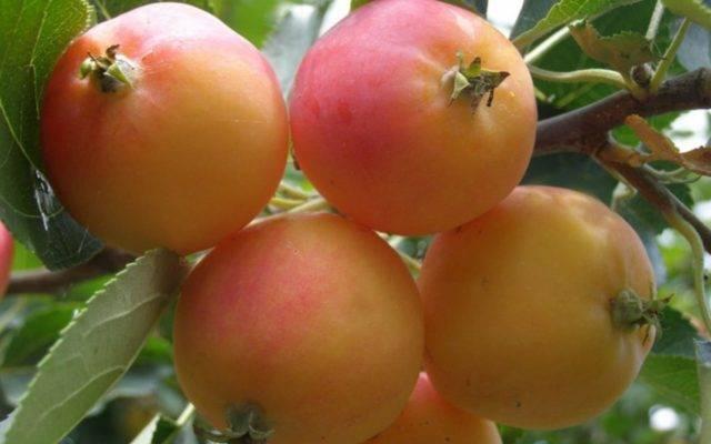 Яблоня китайка золотая: описание и условия выращивания - блог фермера