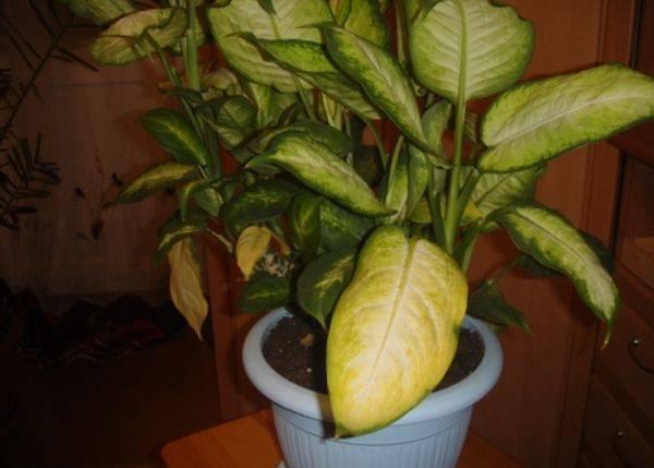 Почему у диффенбахии желтеют листья?