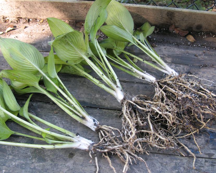 Размножение хосты делением куста: когда можно делить куст и рассаживать? как рассадить хосту летом? как разделить куст не выкапывая его? пересадка весной и осенью