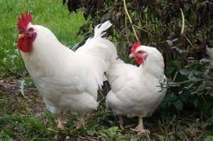 Мясные породы кур: характеристики, описание и особенности лучших мясных пород птиц и мини мясных кур