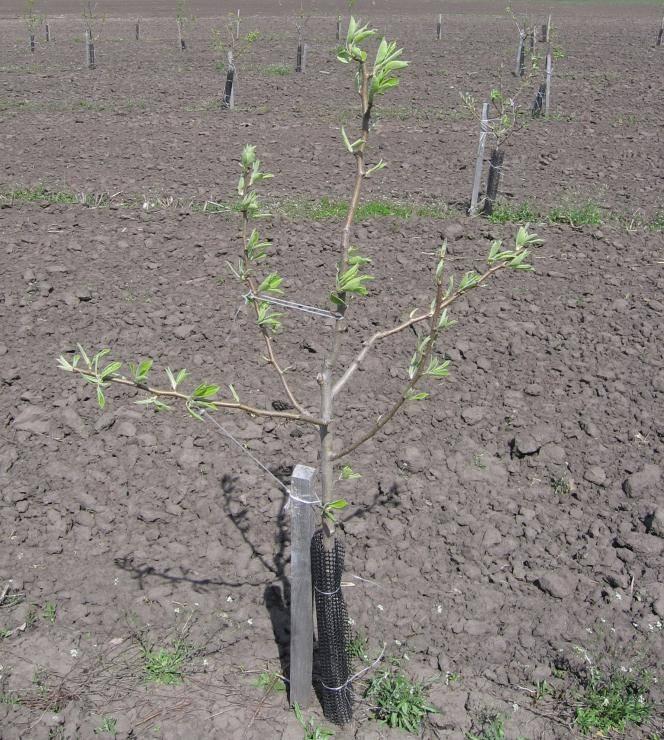 Посадка груши весной в подмосковье: сорта самоплодные и низкорослые, саженцы, агротехника - выращивание и уход