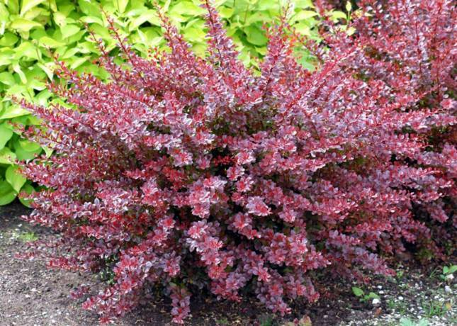 Сорт барбариса Тунберга Арлекин — ботаническое описание