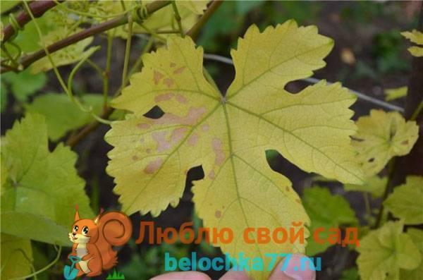 """Желтеют листья у винограда - что делать? - журнал """"совхозик"""""""