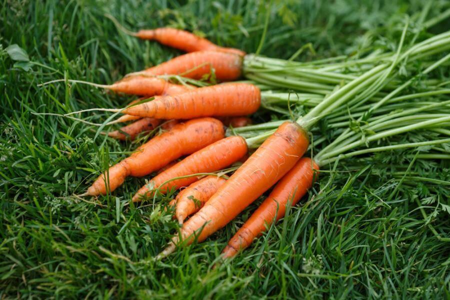 Морковь фиолетовая: что это такое, как использовали раньше, почему оранжевый корнеплод изначально был получен из этого вида, а также сорта и выращивание русский фермер