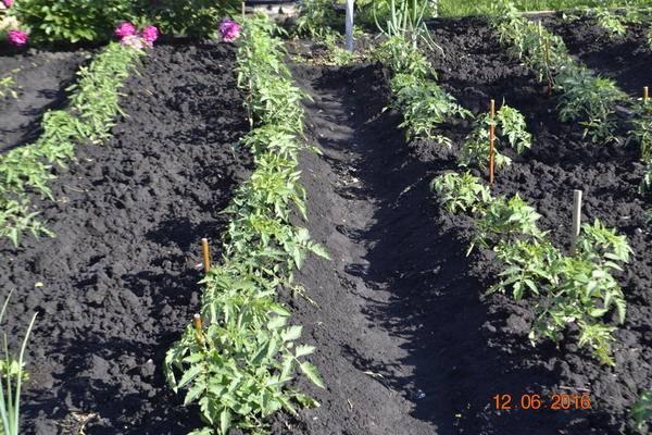 Когда окучивать помидоры в теплице, фото и видео