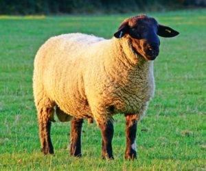 Восточно-фризская порода овец: описание и характеристика