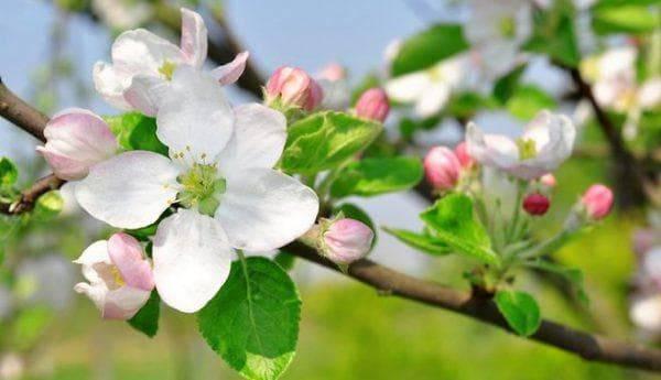 Как и чем подкормить яблоню? чем подкармливать молодую и старую яблоню во время плодоношения, после цветения весной и в другое время? правила удобрения