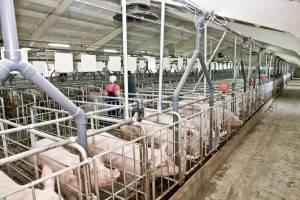 Какой должна быть хорошая свиноферма