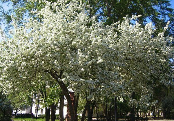 """Войлочная вишня: сохнут ветки после цветения, что делать? - журнал """"совхозик"""""""