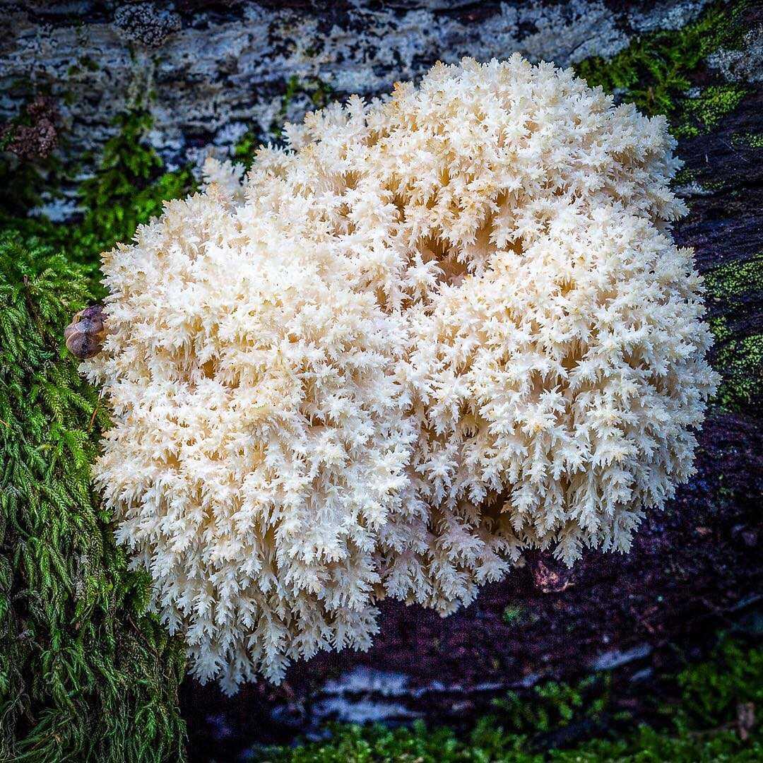 Гриб ежевик коралловидный (hericium coralloides), гериций коралловидный или ежовик коралловый: описание, фото, рецепты приготовления и лечебные свойства