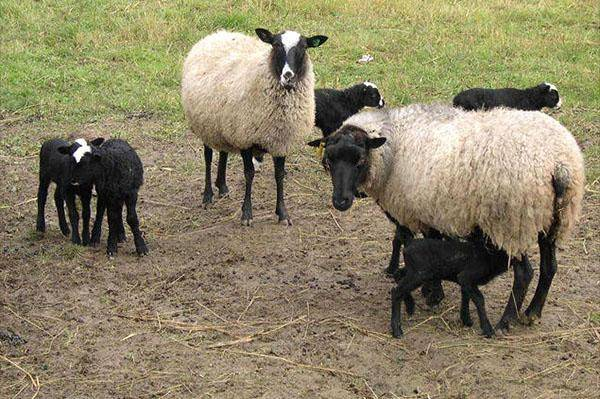 Разведение овец в домашних условиях для начинающих: советы и рекомендации с чего начать (+видео)