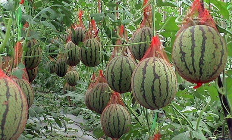 Как посадить арбузы семенами в открытый грунт или теплицу: сроки посева и правила ухода