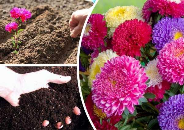 Астра многолетняя — сорта, посадка и уход, выращивание из семян | народные знания от кравченко анатолия
