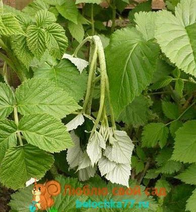 Чем обработать малину весной от болезней и вредителей, советы бывалых садоводов