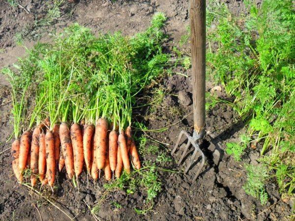 Когда убирать морковь с грядки на хранение по регионам