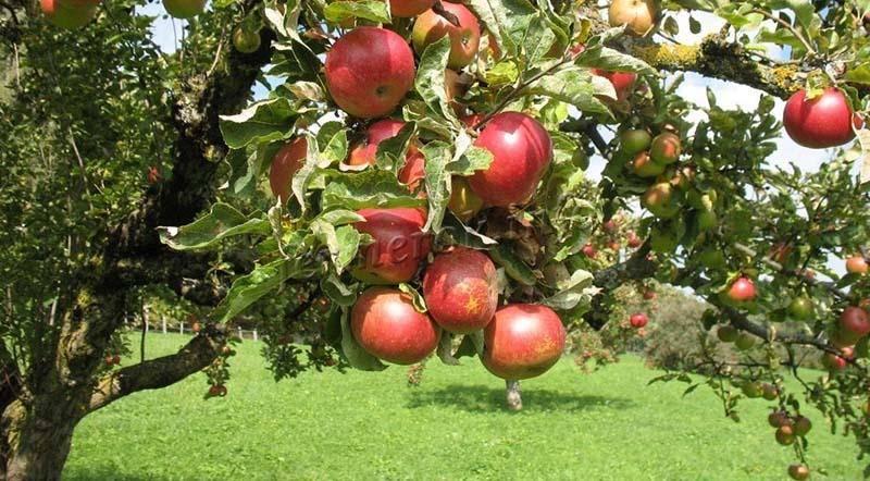 Лучшие сорта яблонь для сибири фото и описание. ранетки и крупные
