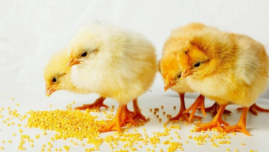 Кормление цыплят до месяца и после: какой уход обеспечить в домашних условиях, вид корма и норма в зависимости от возраста для бройлерной птицы selo.guru — интернет портал о сельском хозяйстве