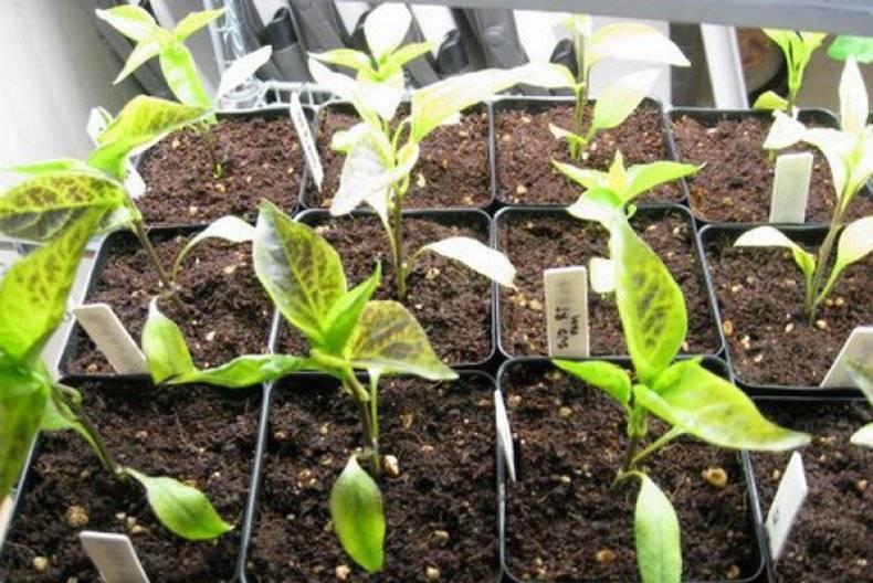 Почему у рассады салатного перца вянут опадают листья
