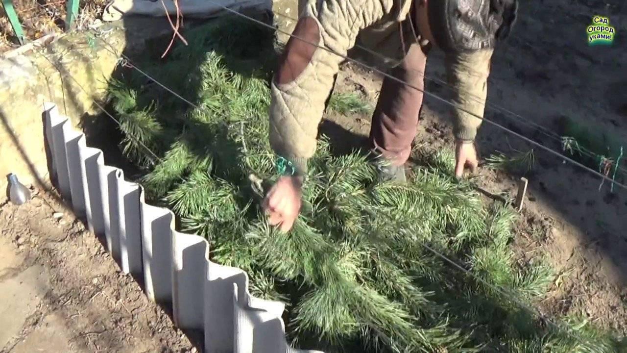 Укрытие винограда на зиму: основные ошибки и как их избежать
