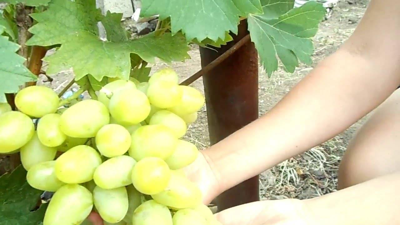 Виноград аркадия: описание сорта, фото, видео, отзывы