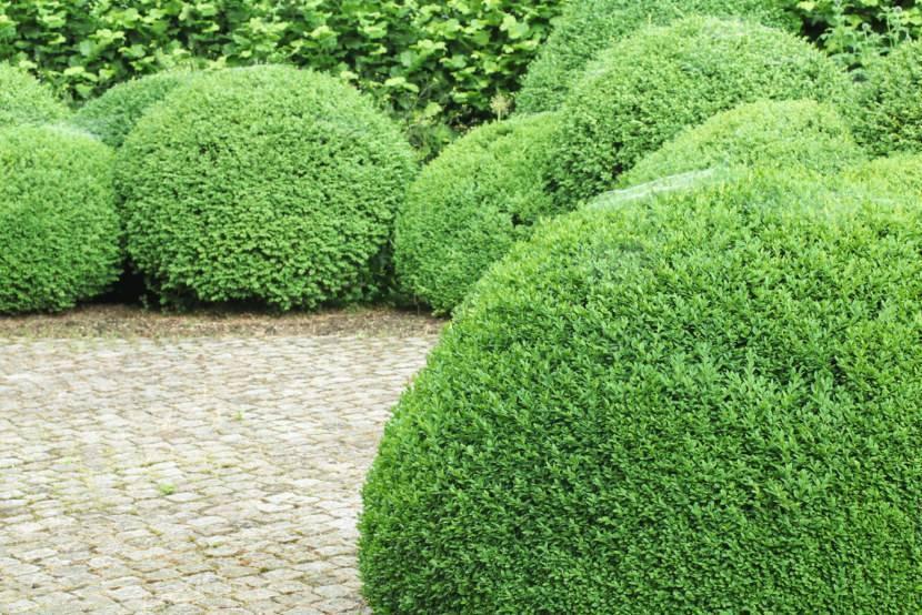Кустарники для живой изгороди: быстрорастущие, вечнозеленые, фото и названия