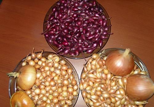 Как вырастить лук-севок из семян: инструкция по посадке и уходу