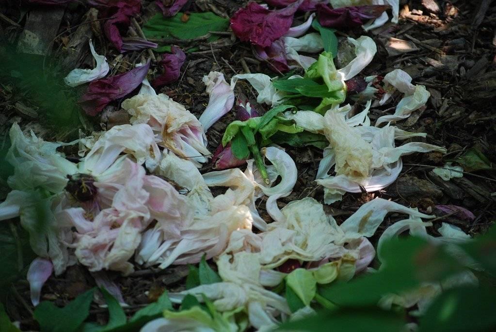 Когда обрезать пионы после цветения. когда обрезать пионы на зиму