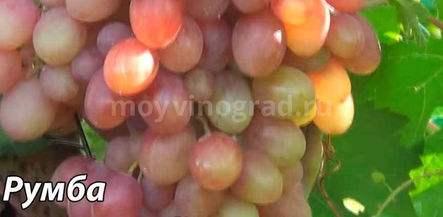 Столовый виноград сорта «румба»