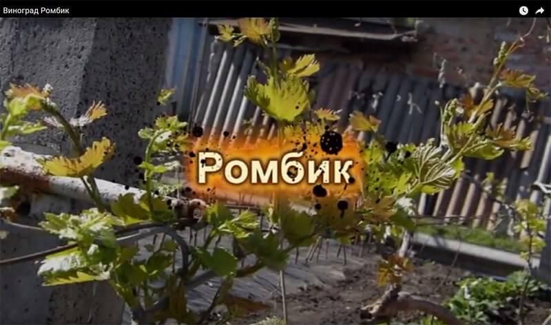 """Виноград """"ромбик"""": описание сорта, фото, отзывы"""
