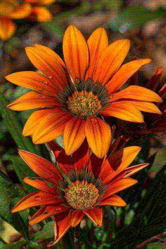 Гацания, посадка и уход в открытом грунте - фото цветов газании