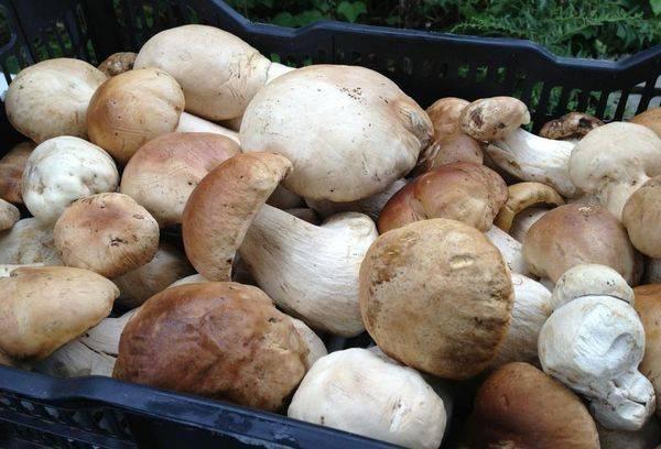 Как чистить белые грибы перед приготовлением