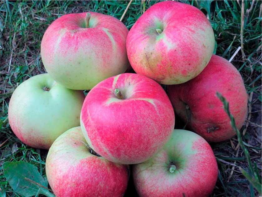 Яблоня медуница – почти 50 лет сладких и ароматных урожаев