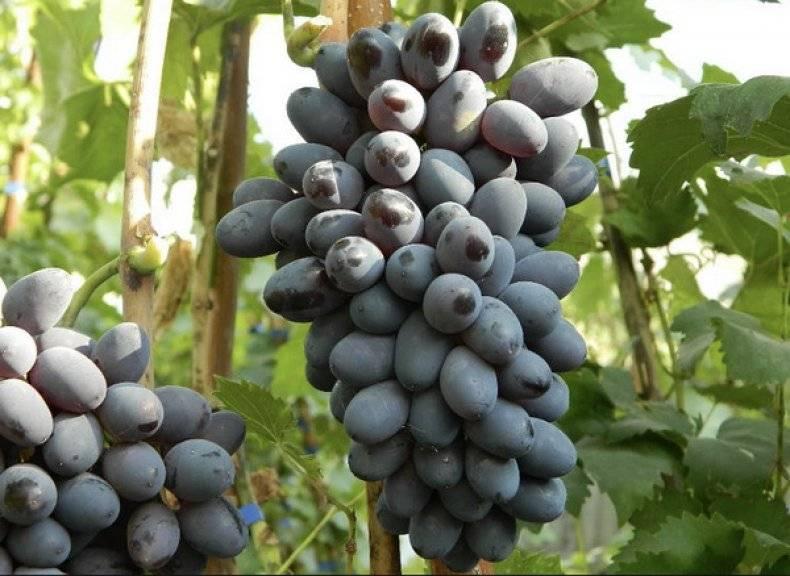 Посадка винограда - своеты профессионалов, особенности ухода и выращивания винограда своими руками (105 фото и видео)