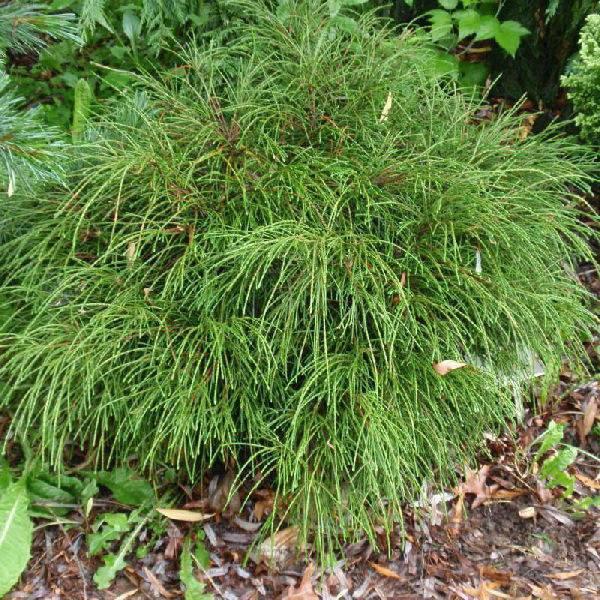 Туя випкорд (складчатая thuja plicata whipcord): её посадка и уход, фото и описание - сад и дача