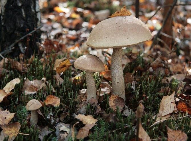 Описание съедобных и ядовитых грибов белоруссии (+41 фото)