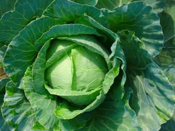 Описание сорта капусты Ринда — особенности выращивания