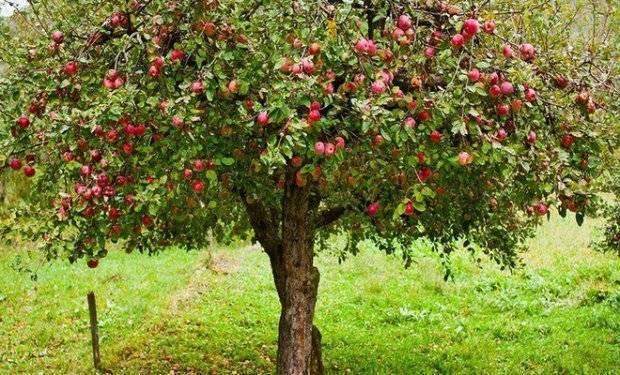 Яблоня колоновидная: посадка и уход в сибири